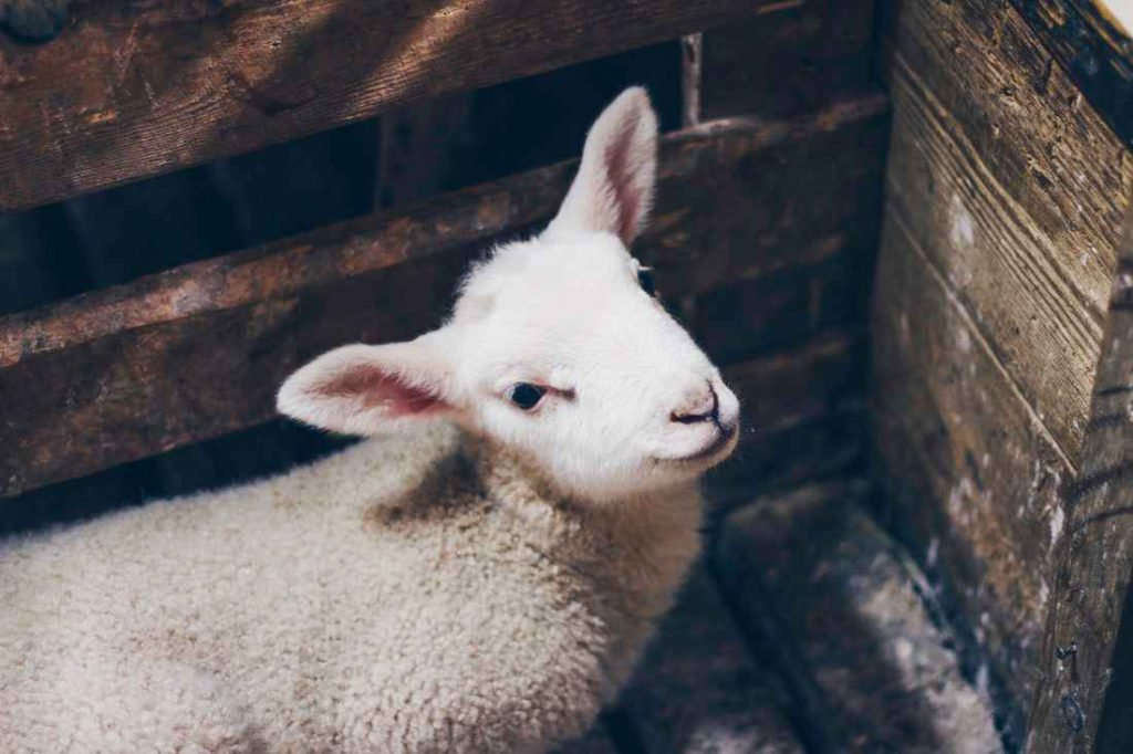 what is a lamb